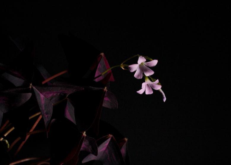 De oxalis in bloei