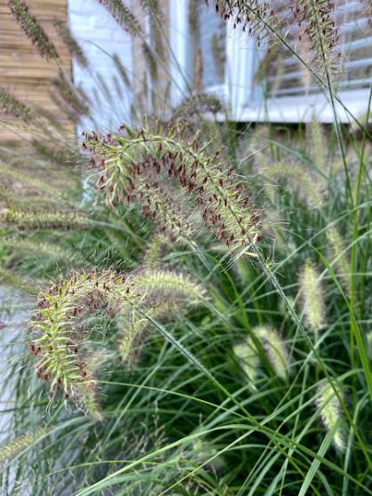 Het mooie lampenpoetsergras (Pennisetum alopercuroides 'Hameln')